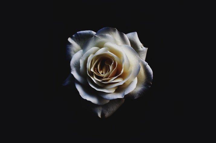 """""""La rosa bianca"""" di Attilio Bertolucci"""