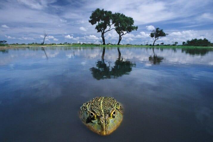 Bullfrog, Botswana