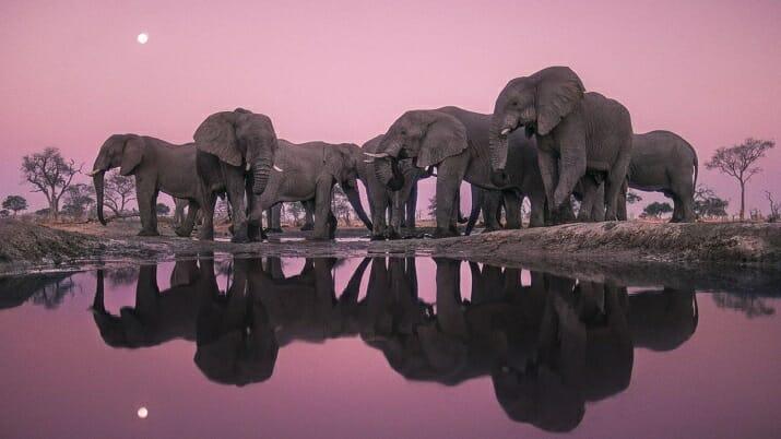 Elephants at Twilight, Botswana