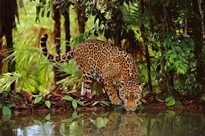 Jaguar drinking, Belize