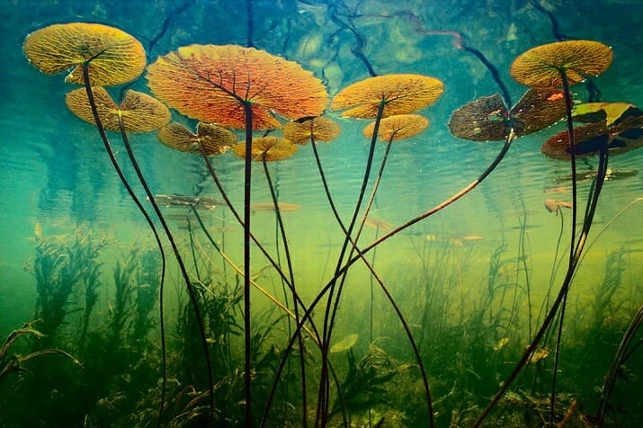 Wildlife di Frans Lanting. Water lilies, Botswana
