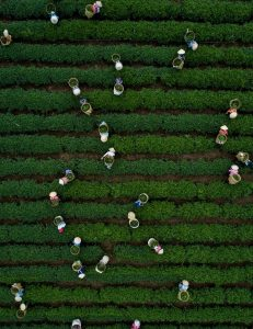 """Harvesting tea leaves"" di Thien Nguyen"