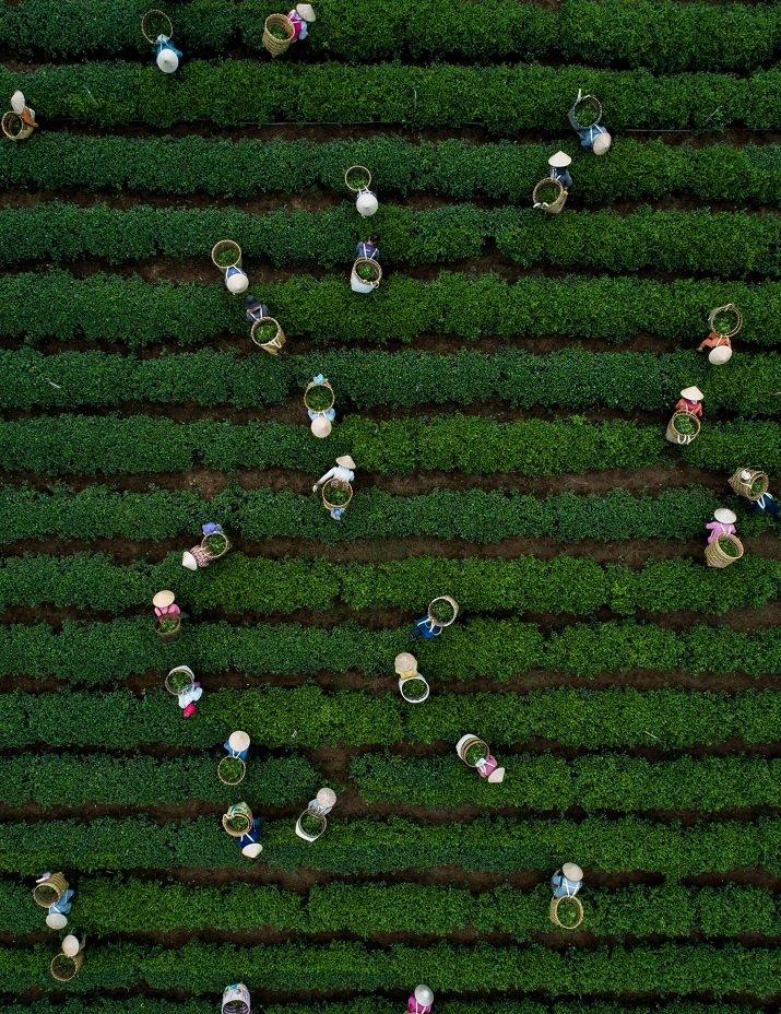 Thien Nguyen. Harvesting tea leaves