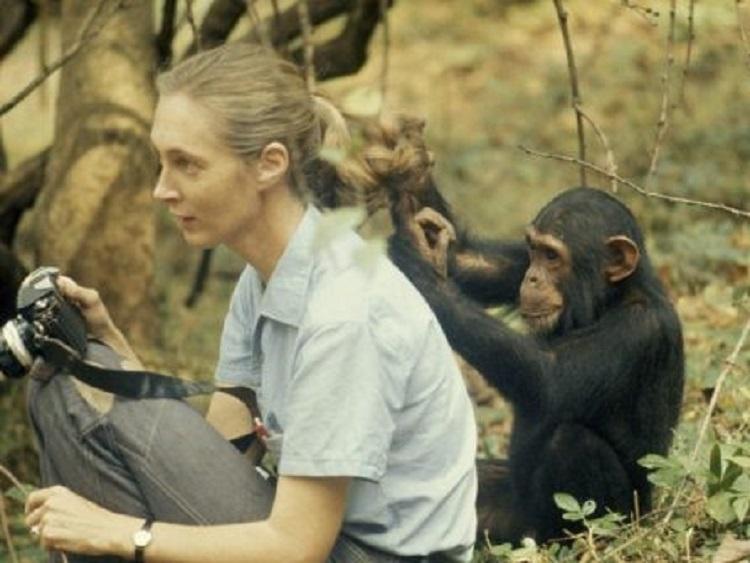 Scimpanzé: scimmie grandi antropomorfe